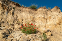 Red poppies growing on the sandy ground of chalk cliffs