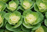 Ornamental cabbage in botanical garden, flowers and plants, environment