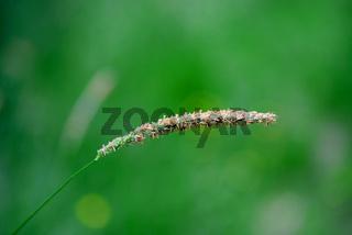 Tall Grass Seed