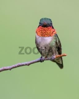 Ruby-throated Hummignbird