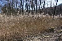 Phragmites australis, Reed