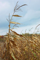 Dried corn stalk in cold autumn wind
