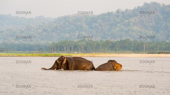 Elephants bathing in Chitwan national park, Nepal