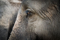 Portrait of Asian elephant