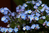 Close up Myosotis flowers or forget-me-not