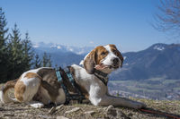 Beagle near Denkalm