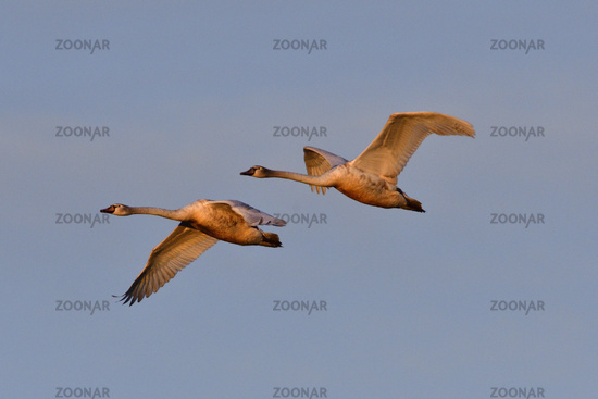 Mute swan in winter