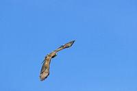 Common Buzzard in flight / Buteo buteo