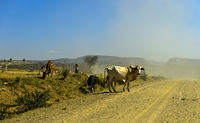 Cattle crossing a dustry country road in the Ethiopian Highlands, Hawzien, Tigray, Ethiopia