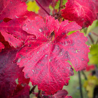 Red autumn leaves at a vineyard