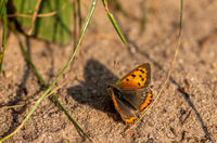 small fire butterfly