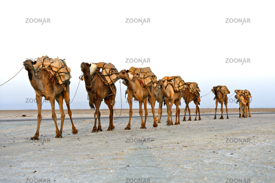 Dromedaries of a caravan loaded with rock salt, Danakil Depression, Afar Region, Ethiopia