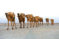 Dromedaries of a caravan loaded with rock salt, Danakil Depression, Afar Region, Ethiopia