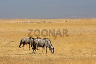 Blue wildebeest landscape