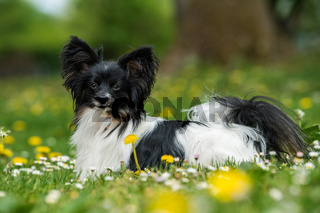 Papillon dog lying in a spring meadow