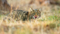 European wildcat licking its mouth with a tongue and hiding on a meadow
