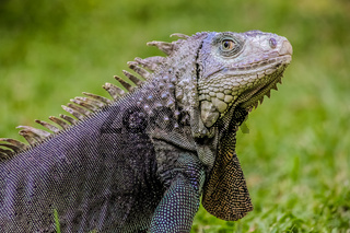 Close up of a Iguana, Harmless reptile, selective focus of a Lizard