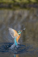 European Kingfisher diving action, Alcedo atthis
