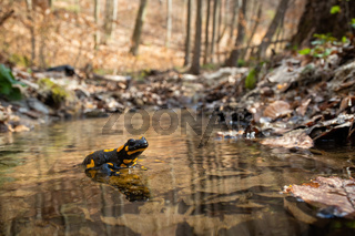 Cute fire salamander standing on rock in water of stream in spring forest