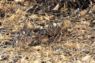 Sandflughühner mit kleinen gut getarnten Küken