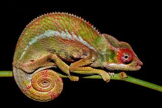 panther chameleon, Furcifer pardalis, Madagascar