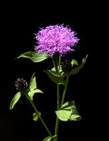 Flockenblume, Centaurea