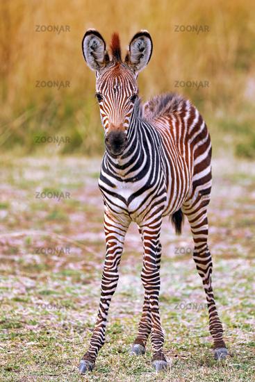 Young Plains Zebra, South Luangwa National Park, Zambia, (Equus quagga)