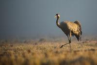 common crane walking on meadow in autumn morning mist