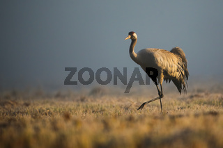 common crane walking on meadow in autumn morning mist