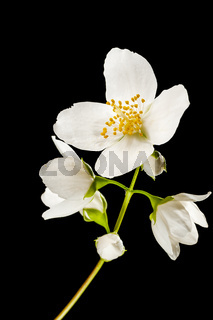 Six blossoms of philadelphus coronarius phases of vegetation