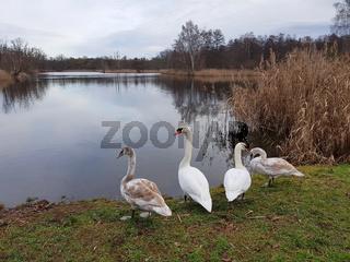 Schwanenfamilie im Winter am Seeufer