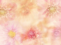 Colorful Dahlia flowers for background, close up