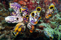 Ink-spot Sea Squirt, ox heart ascidian or gold-mouth sea squirt