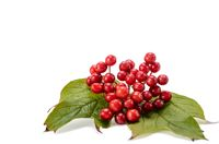 fruits of viburnum
