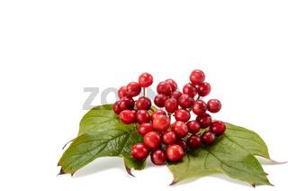 fruits of viburnum