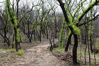 Fluffy leafed trees regeneration after bush fires