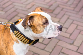 Portrait of terrier dog with bullets on collar