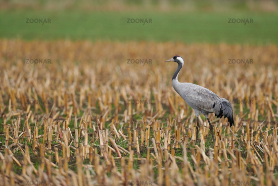 common crane in a German bog