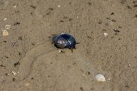 common Periwinkle(Littorina littorea),North Frisia,North Sea,schleswig-Holstein,Germany