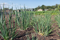 Dutch allotment garden with onions in springtime