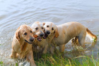 Swimming and playing labradors