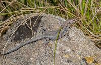 Wall lizard 'Podarcis muralis'