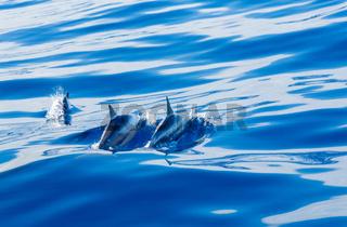 Spinner dolphins off coast of Kauai