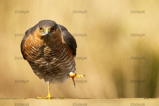 Eurasian sparrowhawk,