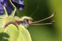 Common brimstone (Gonepteryx rhamni)