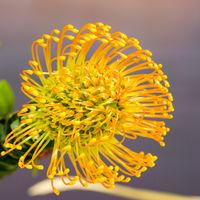 Leucospermum nutans High Gold