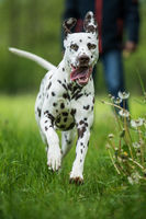 Running dalmatian dog in a meadow