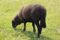Black sheep on the medow