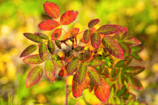 Autumn colors, close-up view of rose hip bush, orange and yellow leaves of bush