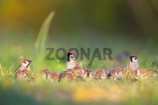 eurasian tree sparrows sitting on meadow in summer.